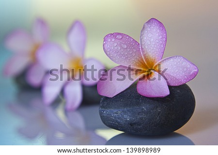 frangipani flower on black stone - stock photo