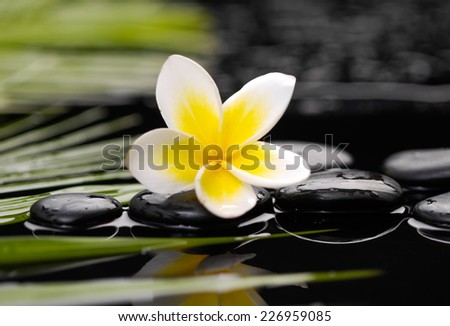 frangipani flower on pebbles with green palm  - stock photo