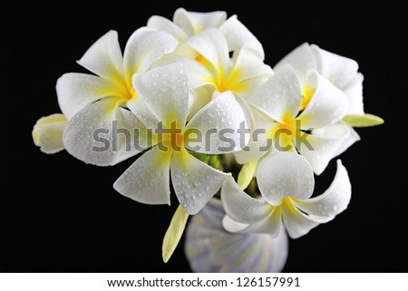 Frangipani flower on the vase with background color black - stock photo