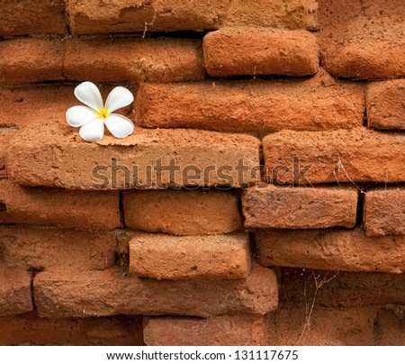 Frangipani flower on wall red brick background. - stock photo
