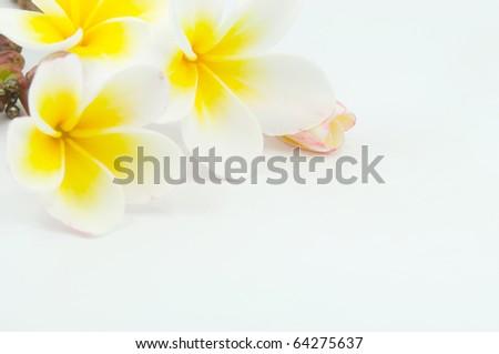 frangipani flower on white background - stock photo