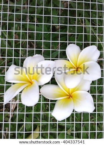 Frangipani flower or Leelawadee flower on net grass backgrounds