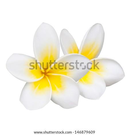 Frangipani Flower or Plumeria Isolated on White Background - stock photo