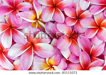 Frangipani flowers, a variety of background colors. - stock photo