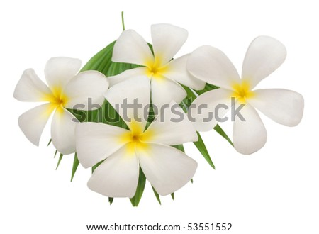 frangipani flowers decoration - stock photo