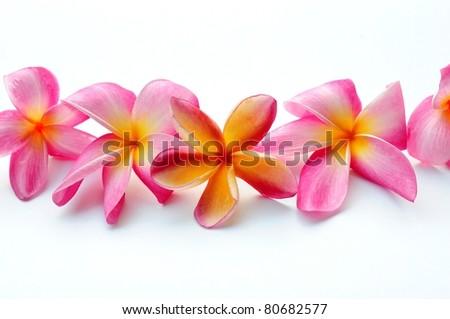 Frangipani flowers in a row - stock photo