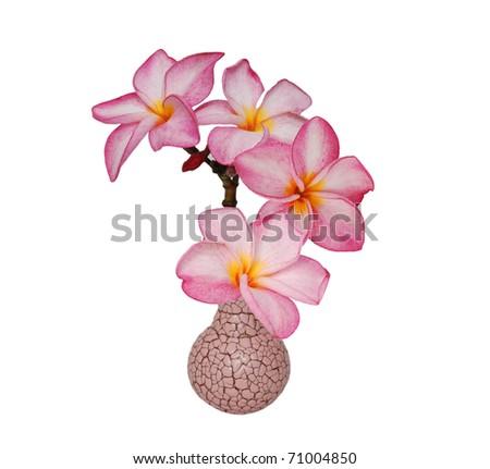 frangipani flowers in vase - stock photo