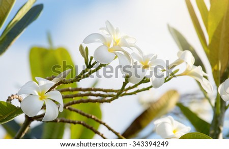 Frangipani flowers on branch - stock photo