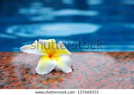 Frangipani flowers on the poolside