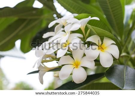 frangipani flowers white and yellow. plumeria the bloom on the tree - stock photo