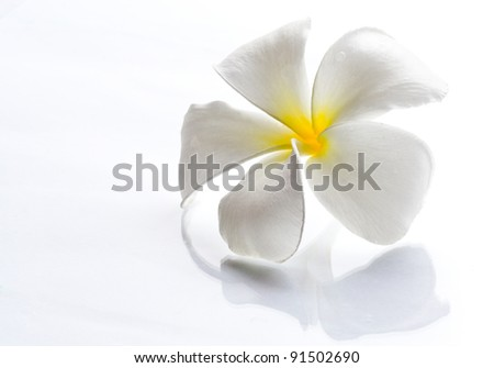 Frangipani flowers white with a light day on a white background - stock photo