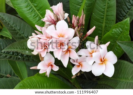 Frangipani Flowers With Leaves In Background