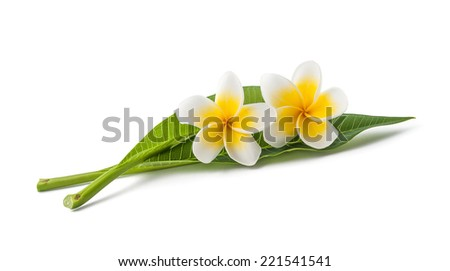 Frangipani flowers with leaves isolated on white - stock photo