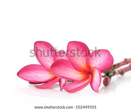 Frangipani isolated on white background - stock photo