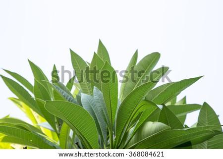 frangipani leaf - stock photo