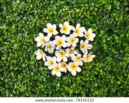 Frangipani on a grass background - stock photo