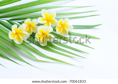 Frangipani on palm leaf isolated on white - stock photo