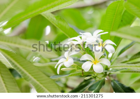 Frangipani or Pagoda tree or Temple tree flower in the garden or nature - stock photo