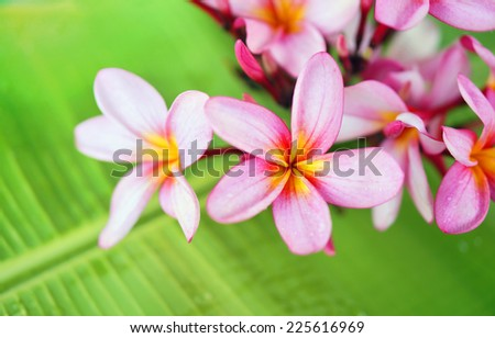 Frangipani or Plumeria flower on green leaf. Spa concept - stock photo