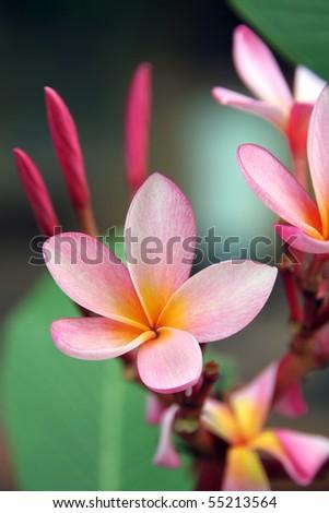 Frangipani (Plumeria) - stock photo