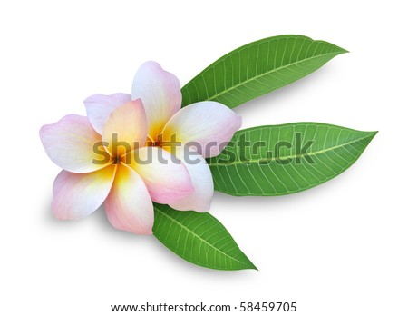 Frangipani / Plumeria - stock photo