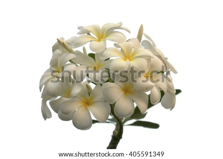 Frangipani (Plumeria Alba) Bouquet Flowers - stock photo