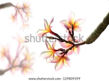 Frangipani, Plumeria blooming and white background , Chiangmai, Thailand. Image for background.