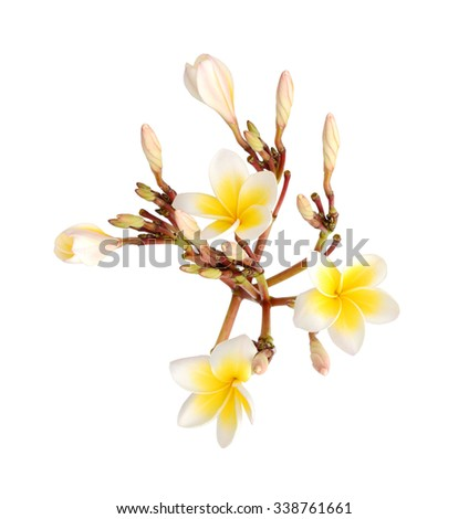 Frangipani plumeria branch isolated on white background, clipping path included - stock photo