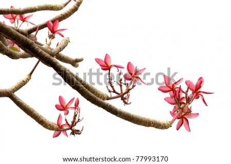 frangipani plumeria flowers and branches isolated on white - stock photo