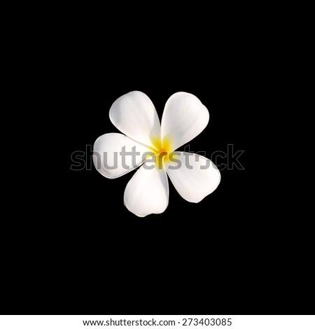 Frangipani plumeria Spa Flowers isolated on dark background - stock photo