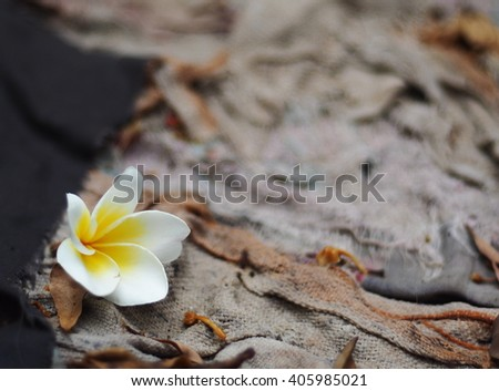 Frangipani, Plumeria, Templetree exotic aroma smell BALI style spa flowers falling on old dirty dried tatters rag cloth - stock photo
