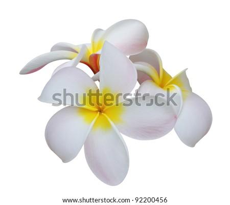 Frangipani (plumeria) tropical flowers isolated on white background - stock photo