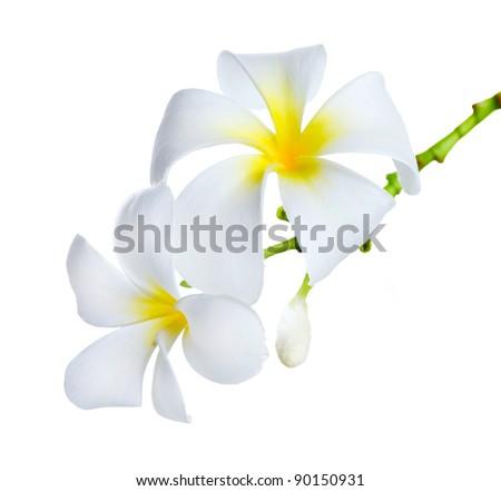 Frangipani Spa Flowers border.Plumeria - stock photo