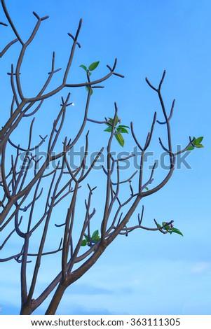Frangipani tree against blue sky - stock photo