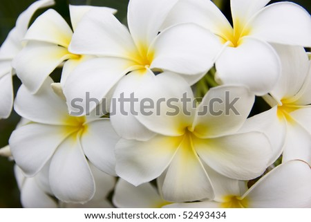 Frangipani tropical flowers from deciduous tree, plumeria - stock photo