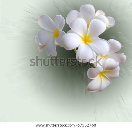 Frangipani tropical flowers from deciduous tree, plumeria - stock photo