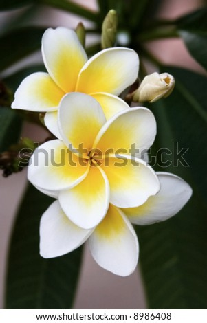 Frangipani tropical flowers from deciduous tree, plumeria