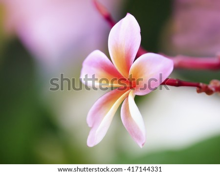 Frangipani tropical flowers, Plumeria flowers fresh in pastel style