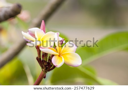 Frangipani Tropical Spa Flower Plumeria Shallow DOF - stock photo