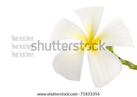 frangipani with isolated white background and copy sapce - stock photo