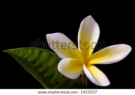 Frangipani with Leaf - stock photo
