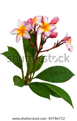 frangipani with twigs and leaves. - stock photo