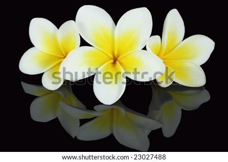 frangipanis, Plumeria rubra - stock photo