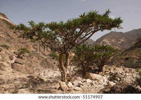 Frankincense Tree Images Frankincense Tree in Dhofar