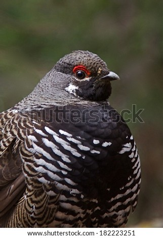 Franklin's Spruce Grouse, Falcipennis canadensis, adult male highly detailed close up portrait in national forest evergreen habitat   Grouse Hunting Upland Game Bird Hunting Small Game Hunting  - stock photo