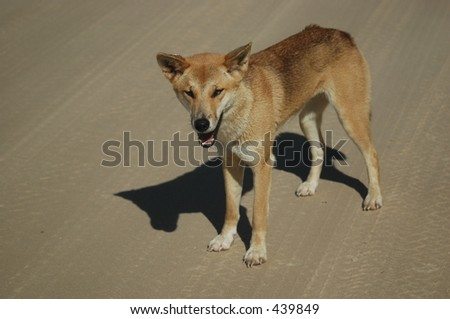Fraser Island Dingo - stock photo
