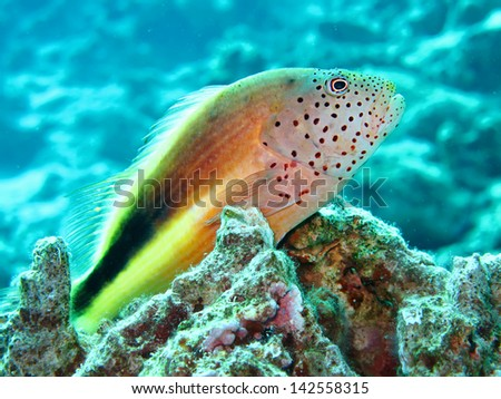 Freckled hawkfish (Paracirrhites forsteri) - stock photo