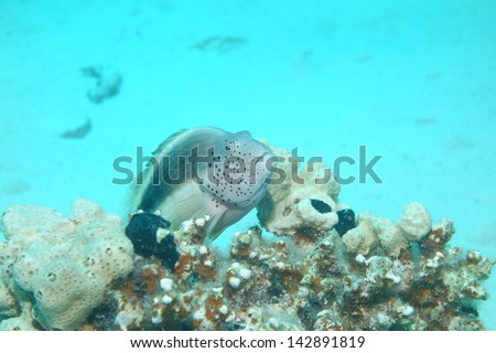 Freckled Hawkfish (Paracirrhites Forsteri) on a coral