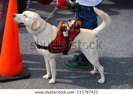 FREDERICK, MD- SEPTEMBER 16: White Labrador Service Dog at a Car Show on Sept. 16, 2012 in Frederick, MD USA. Alzheimer's Association Benefit Car Show at Motor Vehicle Administration in Maryland. - stock photo
