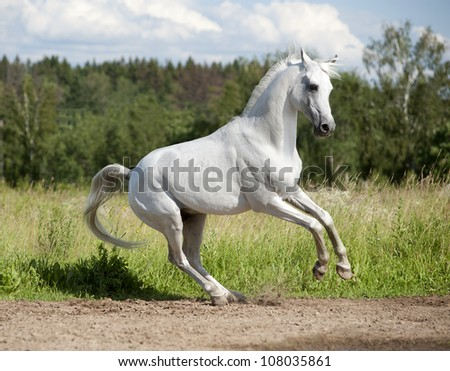 free arab horse in the summer field